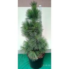 Сосна Шверина Витхорст (Pinus schwerinii Wiethorst)